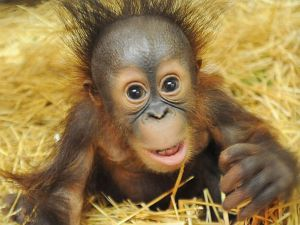 HT_orangutan_zoo_1_sk_140722_4x3_992